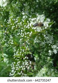 Bee on flowering bush in spring garden