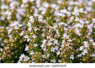 Bee on Flowering thyme in the summer garden. Honey bee and Thymus vulgaris Faustini plant. Italian Thyme blossom. Flowering Thyme in herb garden. Honeybee in Thyme Lila Flowers, macro closeup