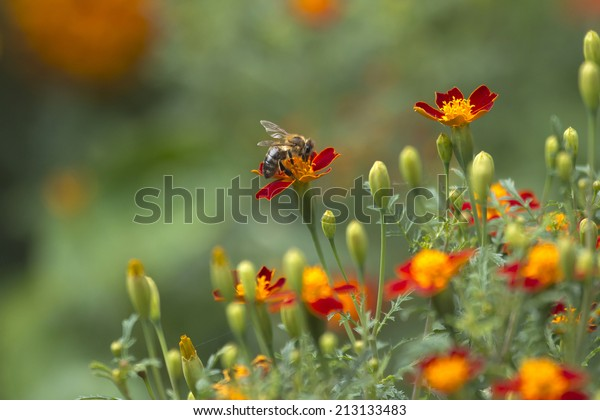 bee on flowers with unsharp natural background
