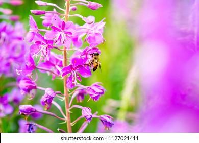 Bee on the flowers  of Willow-herb (Ivan tea, fireweed, epilobium flower ) in a  field