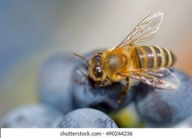 Bee on Grapes Close Up. Honey Bee Sucks Nectar From Purple Grapes Macro.