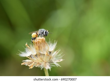 Bee on a grass flower. Image close-up.