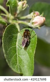Bee on a green leaf