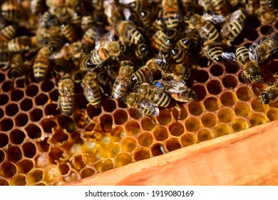Bee on honeycombs with honey slices nectar into cells. Macro image of a bee on a frame from a hive. Bees on honeycomb.