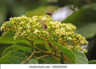 BEE ON JAPANESE RAISIN TREE FLOWER