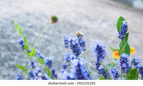 Bee on lavander spring 2021