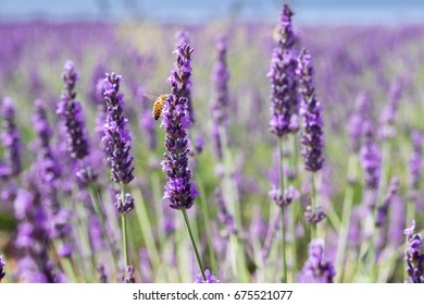 Bee on lavender flower at beautiful lavender fields