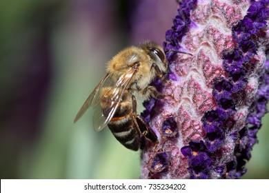 Bee on lavender flower close up macro