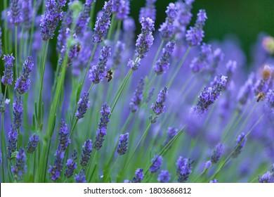 Bee on Lavender (lavandin) plant fields in Valensole Plateau of the Alps in Haute Provence region of France, Europe