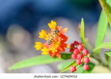 Bee on Milkweed plant