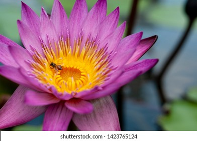 Bee on Nymphaea Stellata (purple water lily). It is native to southern and eastern parts of Asia, and is the national flower of Sri Lanka and Bangladesh.