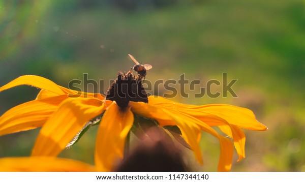 Bee on an orange flower, sunlight, rays, blurred bokeh background