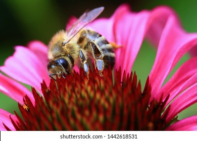 A bee on a pink coneflower.