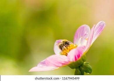 A Bee on a Pink Dahlia Pooh (Collarette Dahlias) Flower.