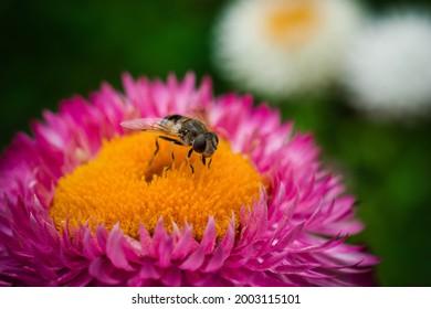 Biene auf rosafarbener Blume
