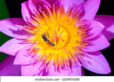Bee on pink lotus flower