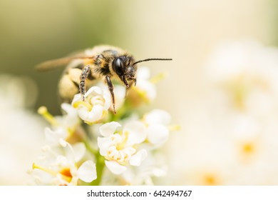 A bee on a portugal laurel flower.  Sitting on the top a white flower stem, the bee is covered in pollen. Detail of its fur and eye can be seen.