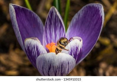 bee on a purple crocus