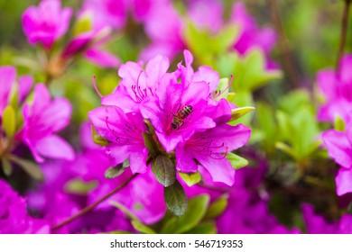 Bee on a Purple Geisha Azaleas