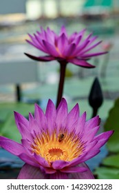 Bee on Purple water lily (Nymphaea nouchali). It is native to southern and eastern parts of Asia, and is the national flower of Sri Lanka and Bangladesh.
