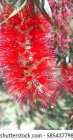 Bee on red brazilian flower/Bee on flower/ Bee on flower