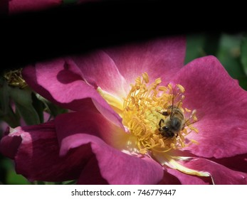 Bee on rose.