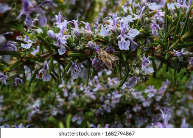 A bee on the rosemary in Spring