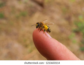 A bee on  skin of a beekeepers finger.
