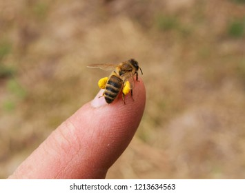 A bee on the skin of a beekeepers finger.
