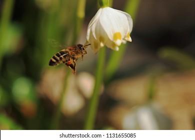 Bee on snowflake flower