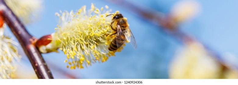 bee on Spring flowering Weeping Pussy Willow  Pendula (Salix caprea). Yellow blossom of Salix caprea pendula ( Kilmarnock Willow ) , close up banner