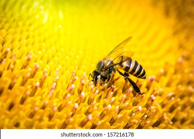 Bee on the sun flower