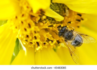 Bee on sun flower.