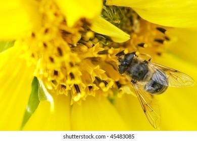 Bee on sun flower.