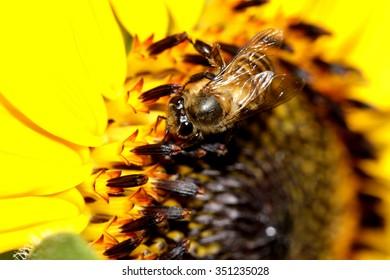 A bee on sunflower