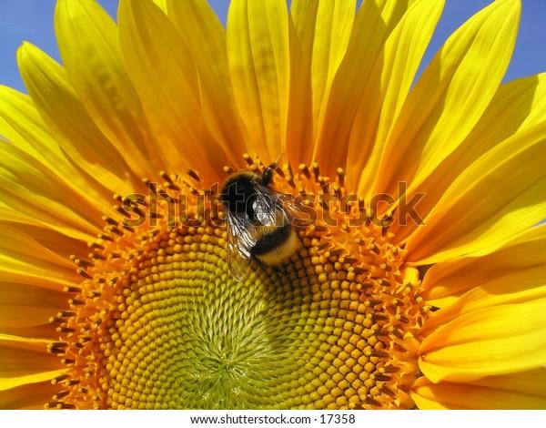 Bee on a sunflower against a blue sky