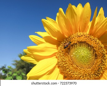 A Bee on Sunflower with Blue-sky Background