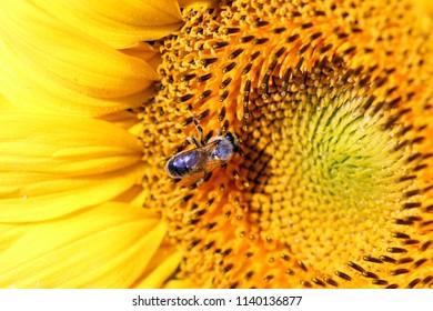 bee on sunflower macro summer season