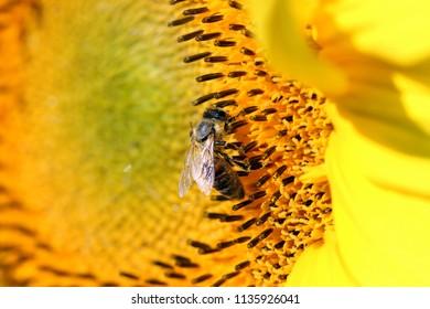 bee on sunflower summer season