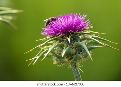 Bee on a thistle flower, pollinating