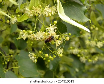 Bee On A Twig Of Blossoming Lime Tree