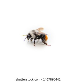 bee on a white background macro