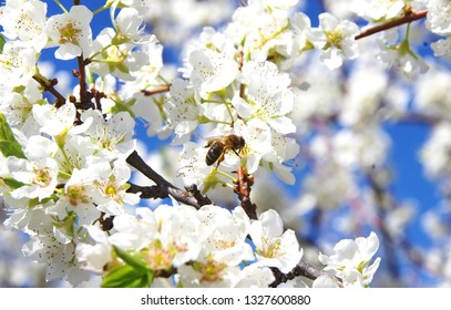bee on a white flower on a blossom tree