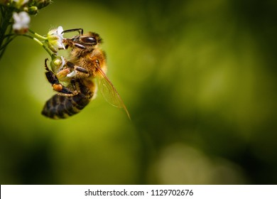 Bee on a white flower collecting pollen and gathering nectar to produce honey in the hive