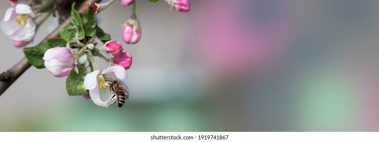bee on a white flower on a tree. Bee picking pollen from apple flower.Bee on apple blossom.Honeybee collecting pollen at a  flower blossom