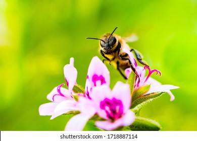 Bee on white magenta mosquito tree flowers