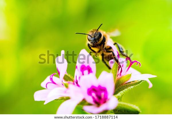 Bee on white magenta mosquito tree flowers