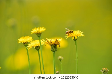 Bee on a wild flower, Patagonia