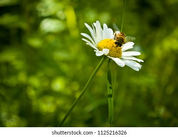 Bee on a Wild White Daisy with a Grassy Green Background