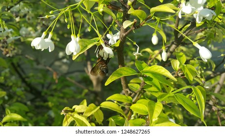 bee on Wrightia religiosa